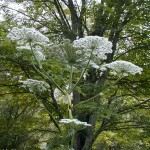Hogweed_Flower_lookalike-150x150