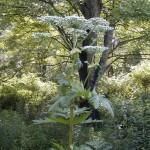 Hogweed_Plant_lookalike-150×150