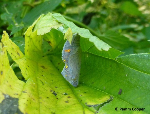 red admiral chrysalis inside nettle leaf shelter