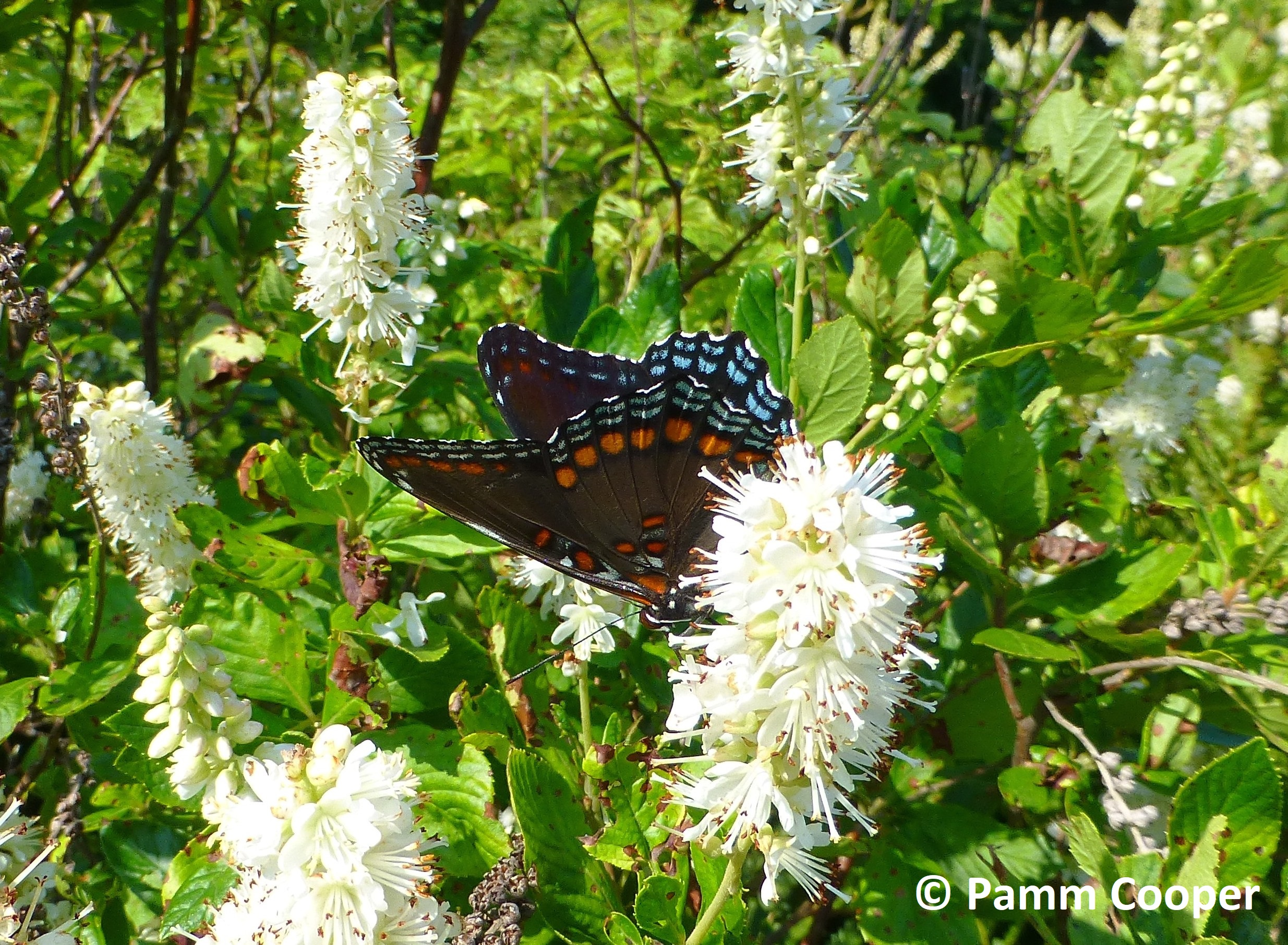 red spotted purple on clethra alnifolia