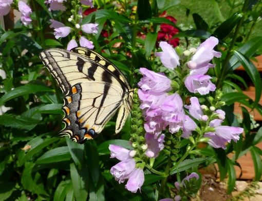 tiger swallowtail and obedient plant