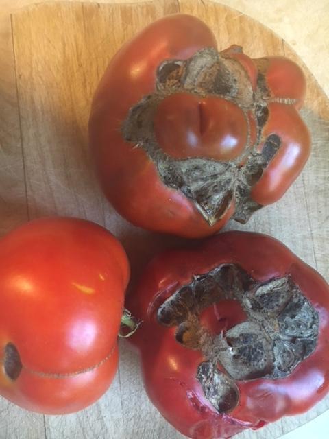Tomato catface 2