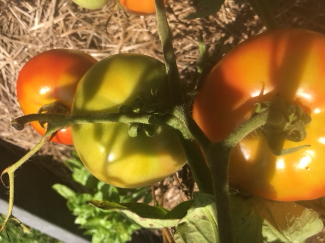 tomato yellow shoulders
