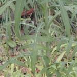 WildLettuce_Leaf-150×150