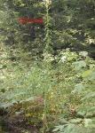 WildLettuce_plant-150×150