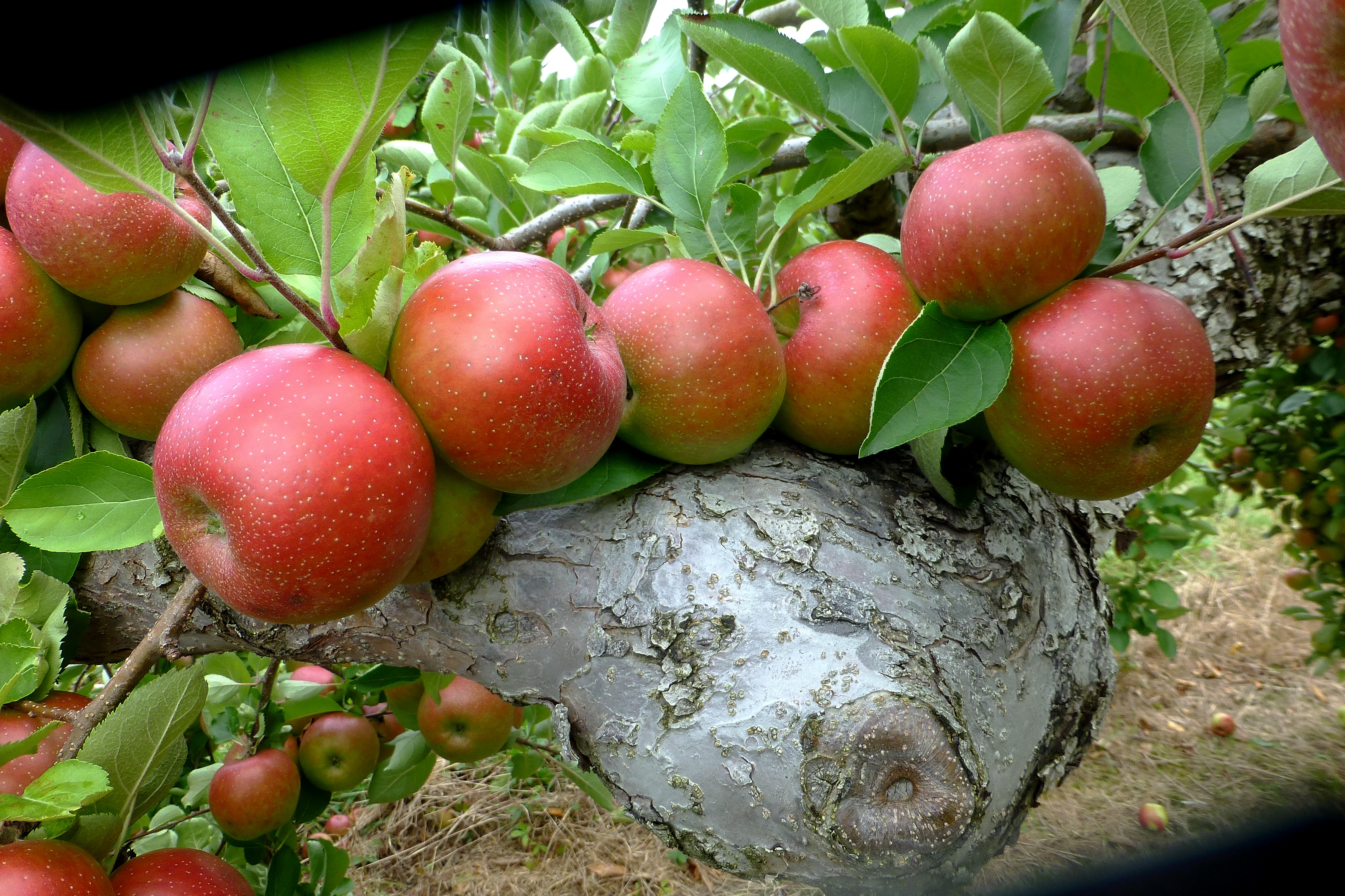 apples 2015 Lapsley's Orchard