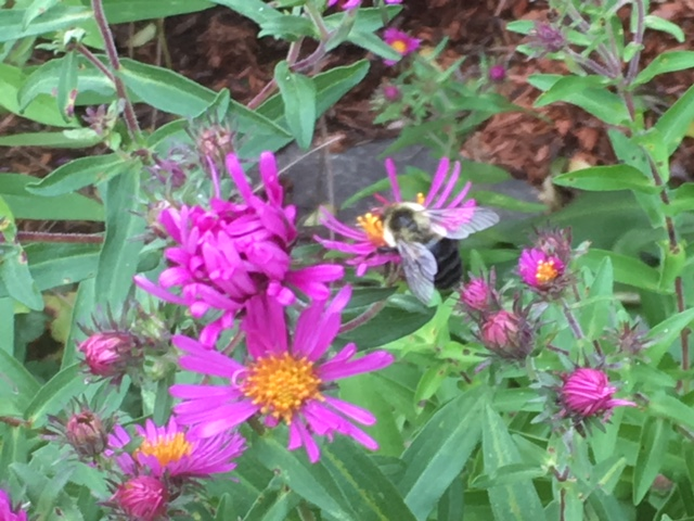 aster with bee