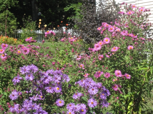 asters in birdhs garden 2