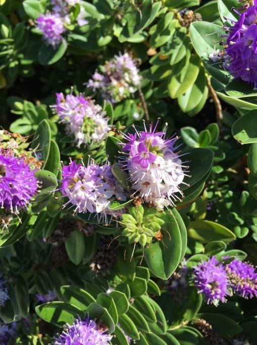 Hebe flower - Copy