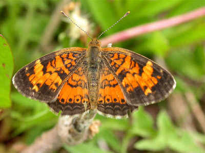 pearl-crescent from www.wisconsinbutterflies.org