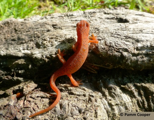 red-spotted newt eft going up