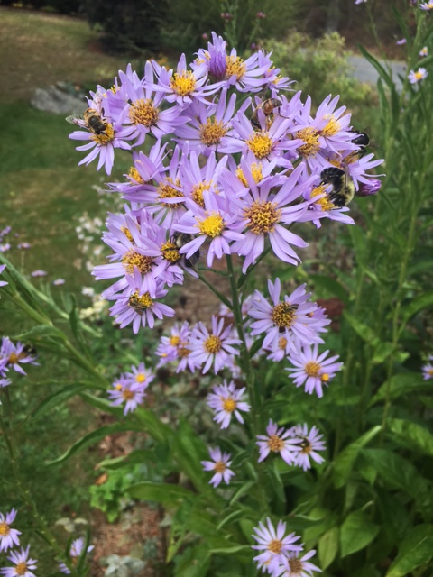 tatarian aster w bees
