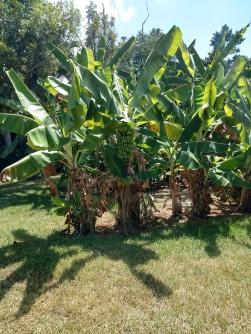 Banana tree Musa acuminata
