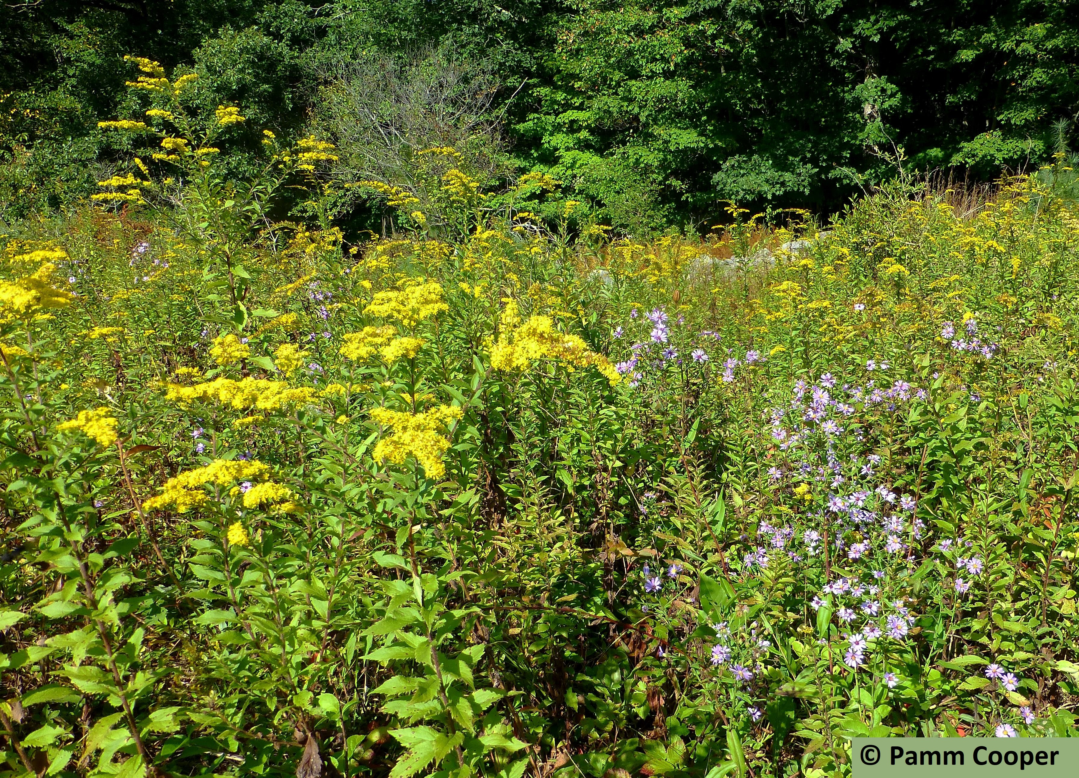 goldenrods and asters in a field
