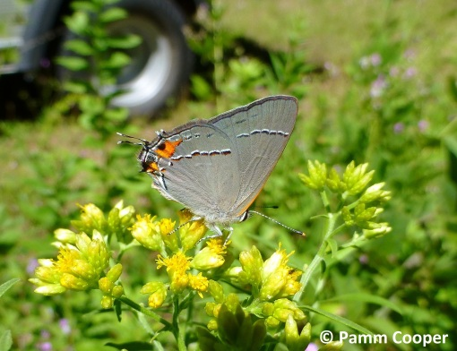 gray hairstreak on goldenrod