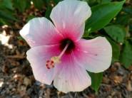 Hibiscus 6