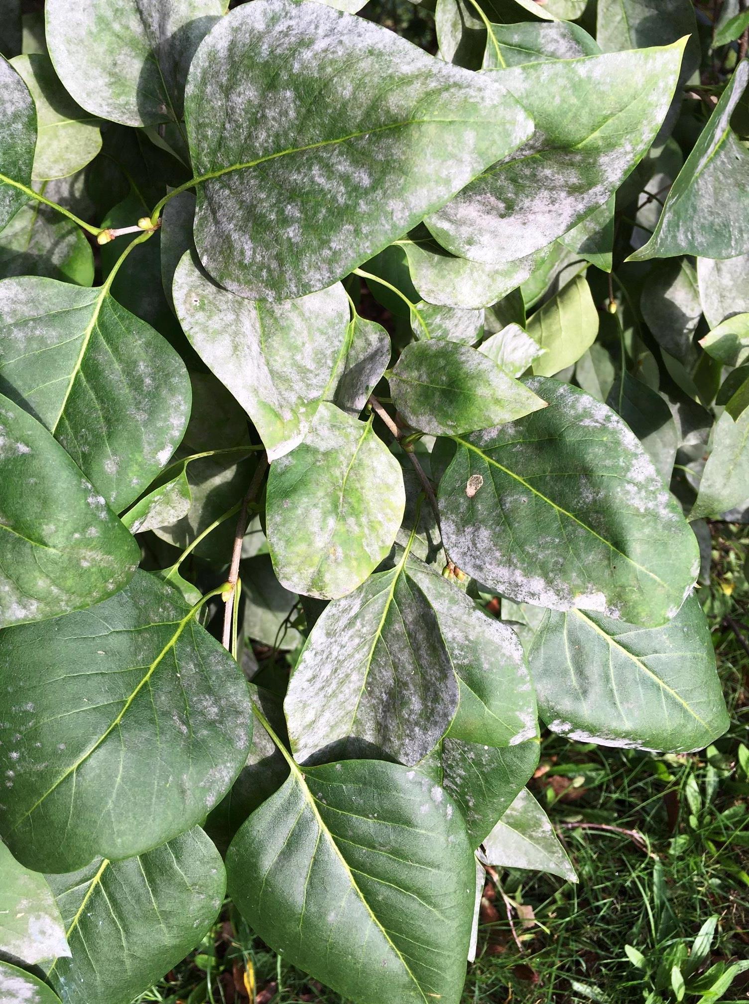 lilac powdery mildew
