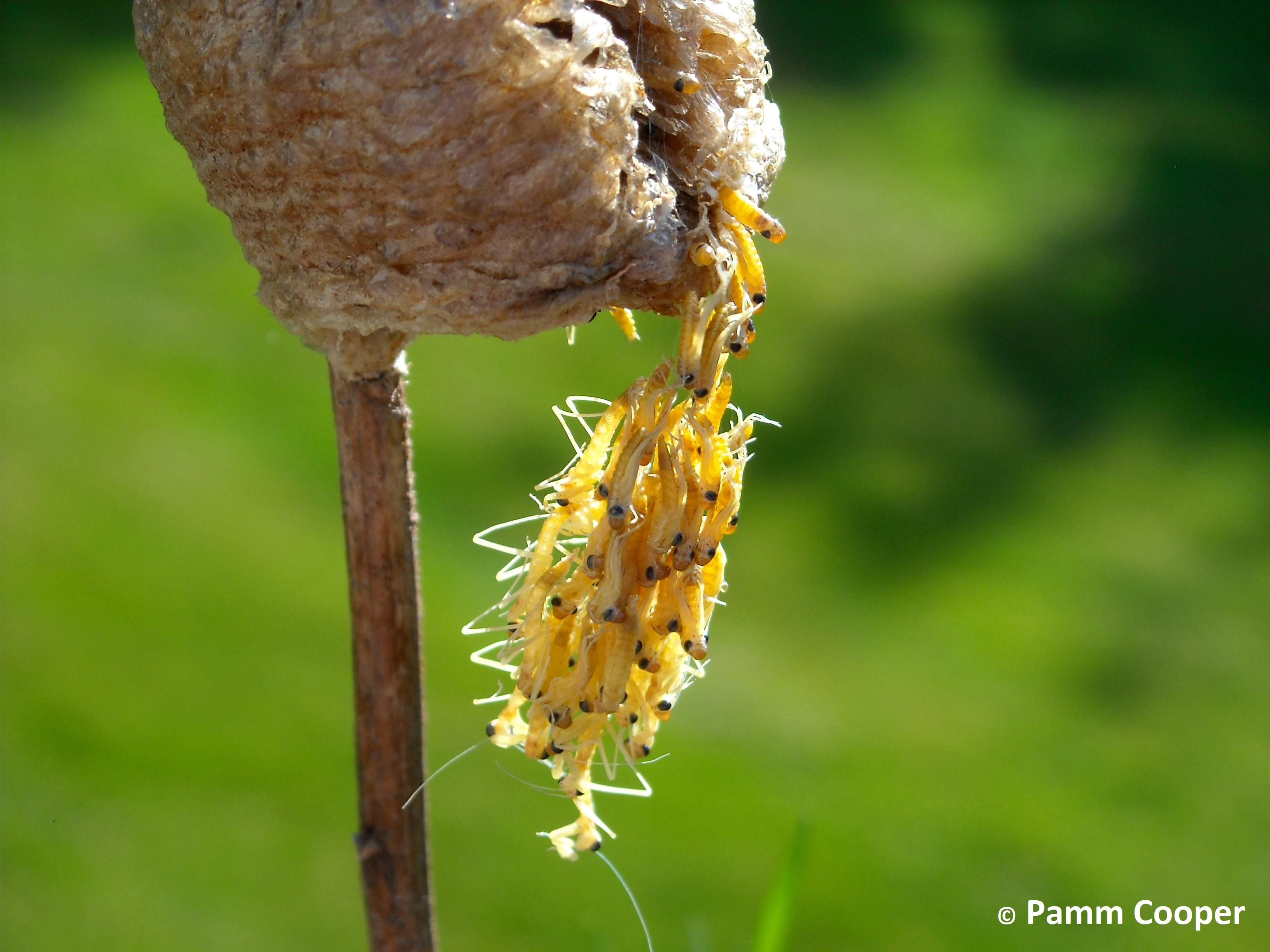 mantids emerging from egg case on goldenrod stem 5-20-12