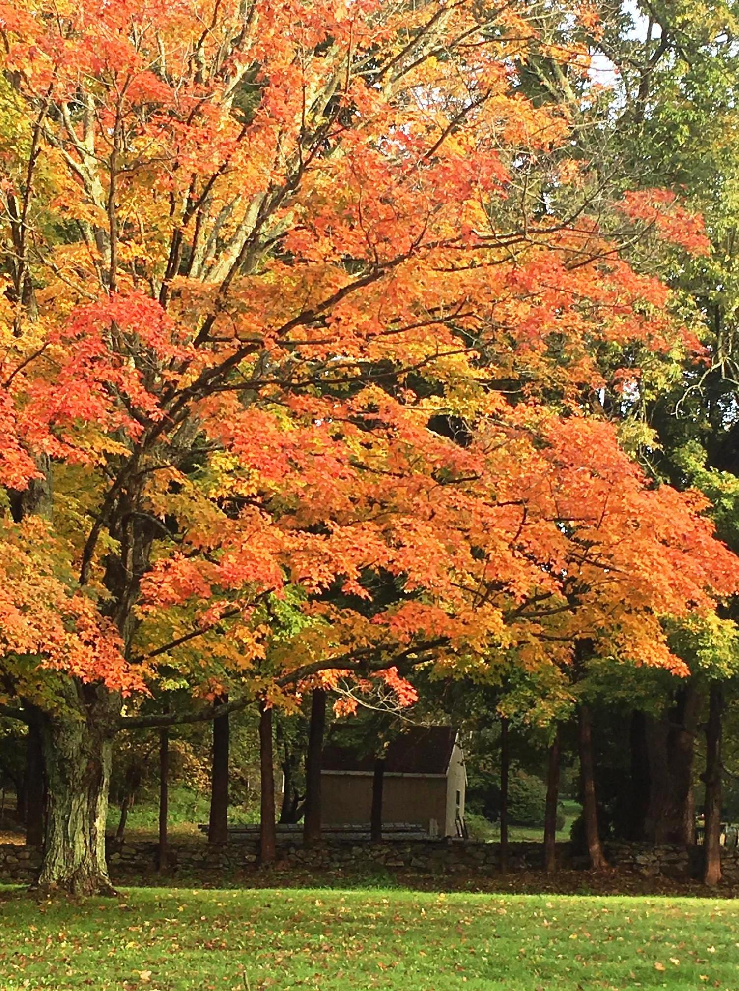 maple tree color