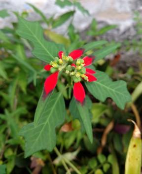 Mexican fire plant, Mexican poinsettia Euphorbia cyathophora