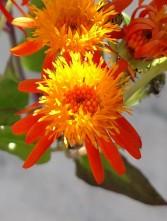 Mexican flame flower Senecio confusus