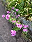 Rose periwinkle Catharanthus roseus