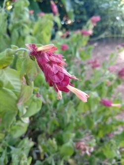 Shrimp plant Justicia brandegeeana