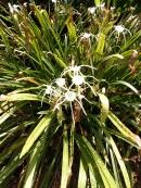 Spider lily Hymenocallis acutifolia