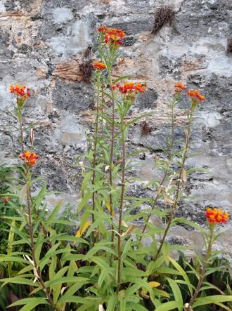 Tropical milkweed plant