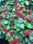 Viburnum and berries