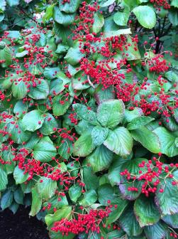 Viburnum and berries