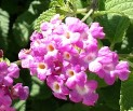 Weeping lantana crop
