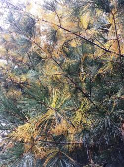 white pine shedding 2