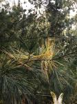 white pine shedding