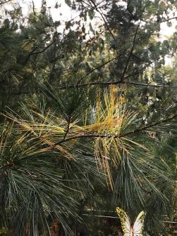 white pine shedding
