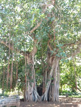 10a Banyan tree