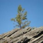 11 a Casuarina equisetifolia Dept of Env and Nat resources Bermudacrop