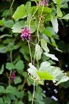 11b Kudzu Pueraria montana How StuffWorks