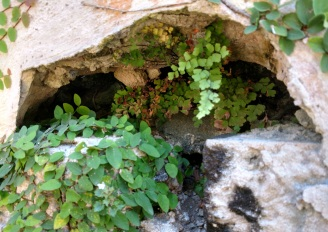 4 Maidenhair fern