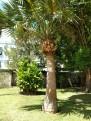 7 Bermuda palmetto