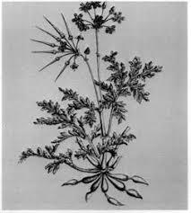 scente geranium, arnold arboretum, historical print