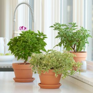 scented geranium, white flower farm photo