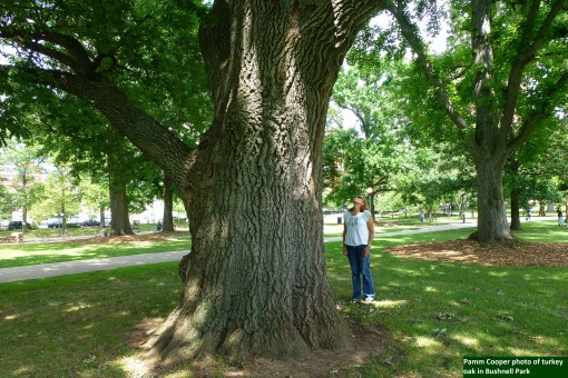 State champ[ion turkey oak Quercus cerris Cirumference 17 feet Bushnell Park