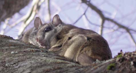 Carolina northern flying squirrel from www.ncpedia.org