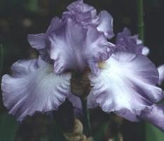 iris society