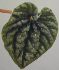 Peperomia with crinkled leaf