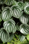 peperomia-argyreia–eric-hunt–cc-by-nc-nd