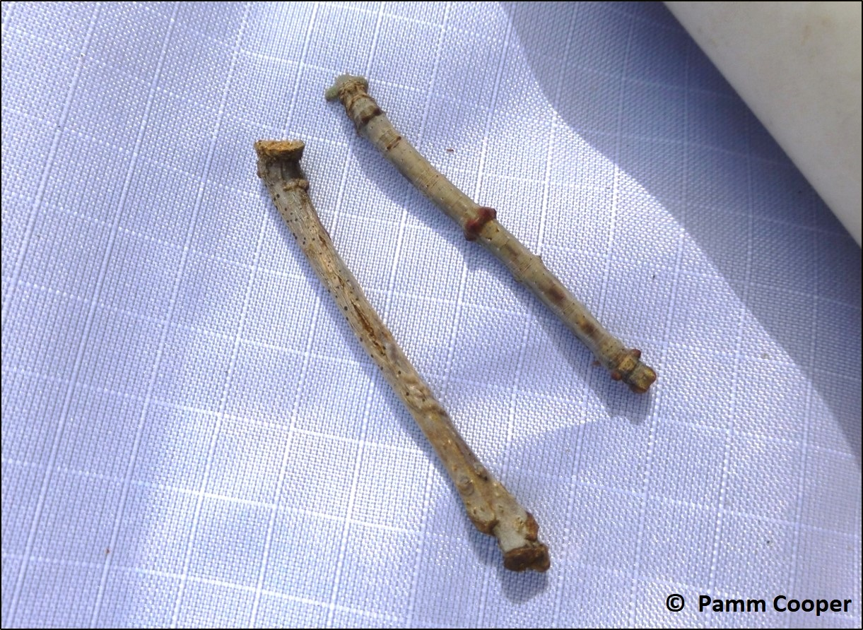 oak besma twig mimic