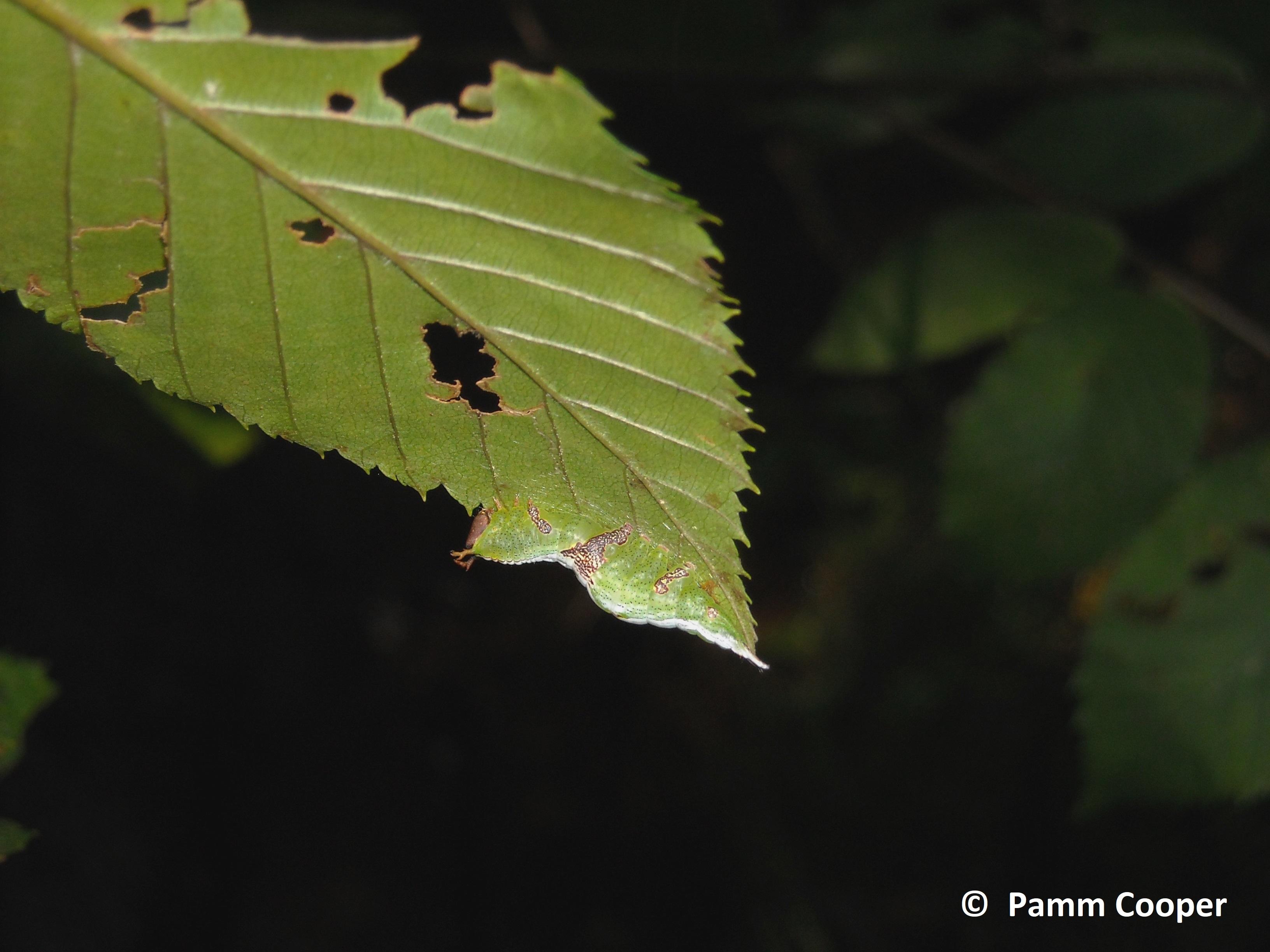 wavy- lined heteocampa 2 on leaf edge