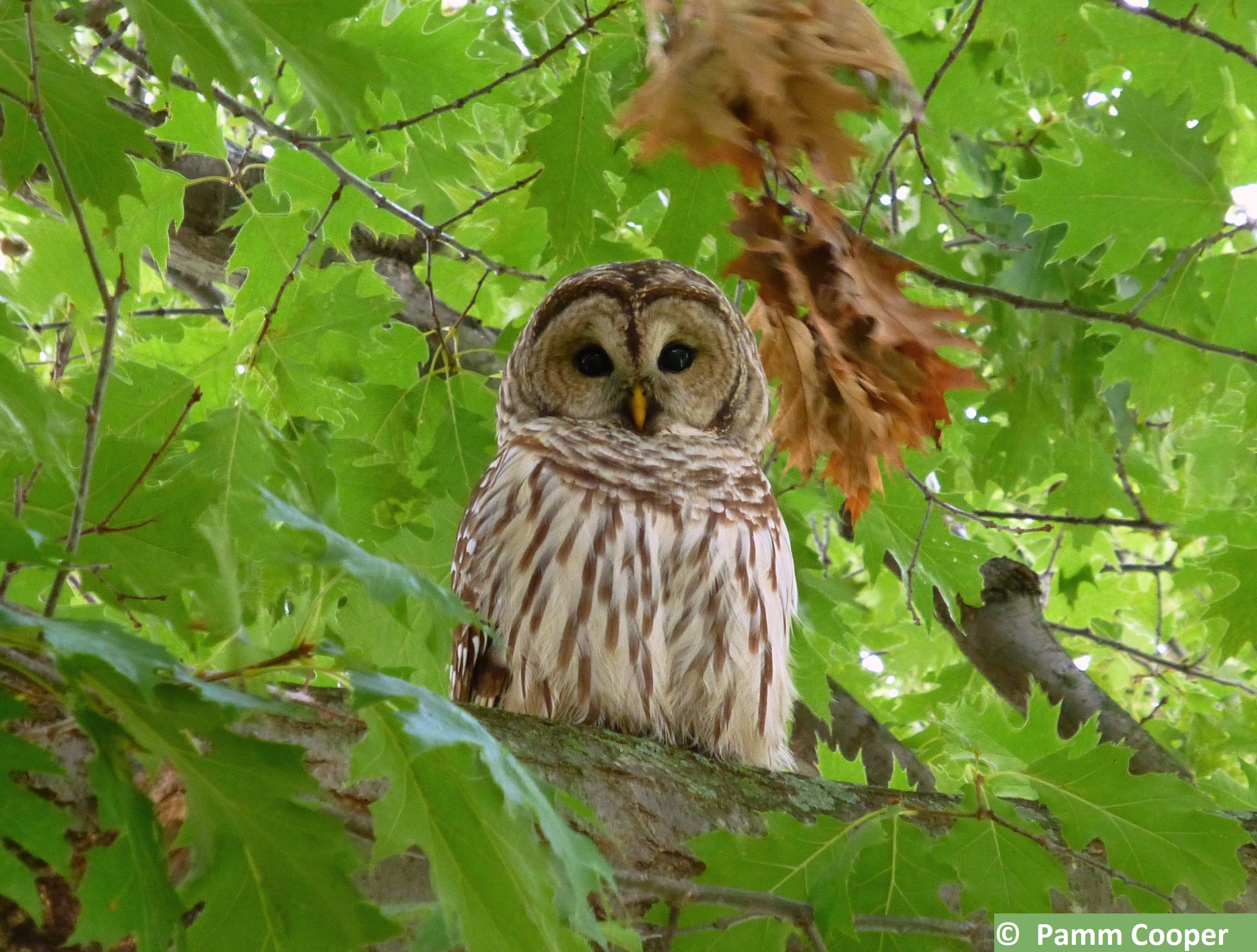 barred owlin oak UConn campus 2014 - Copyright Pamm Cooper